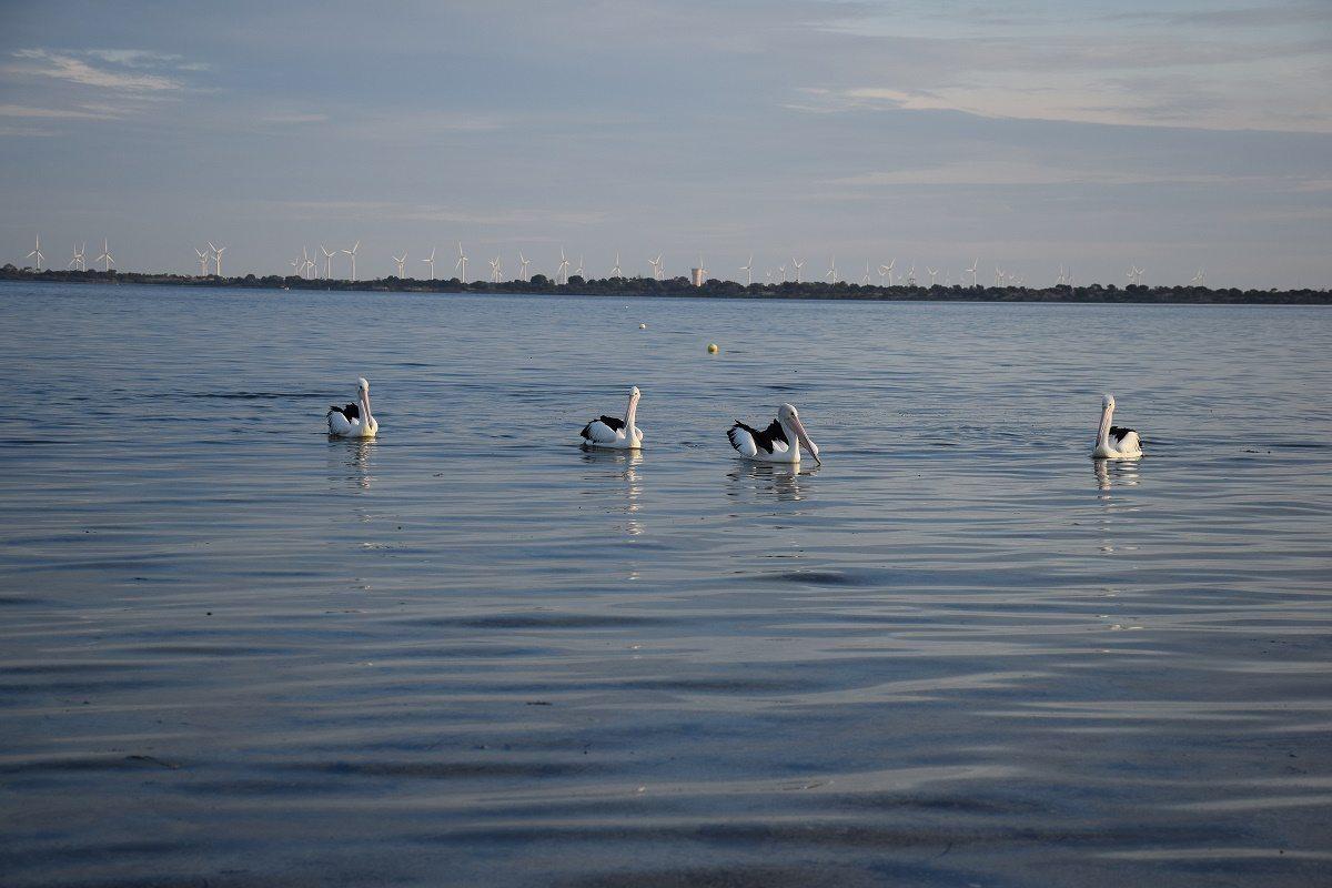 coobowie pelicans