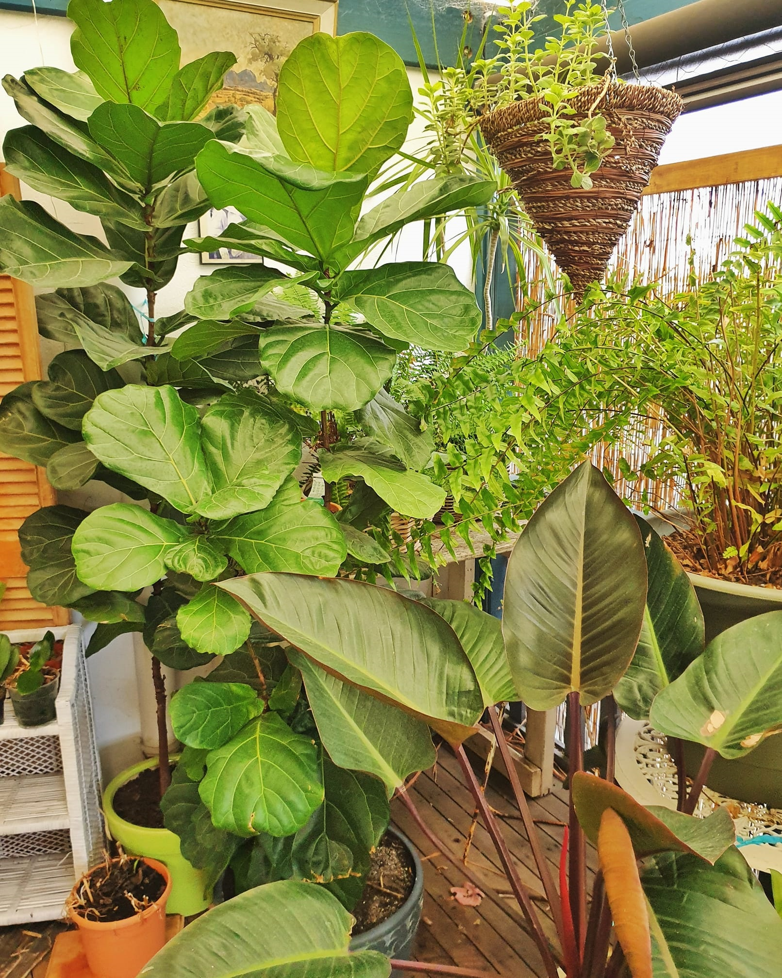 how to care for fiddle leaf figs and monstera