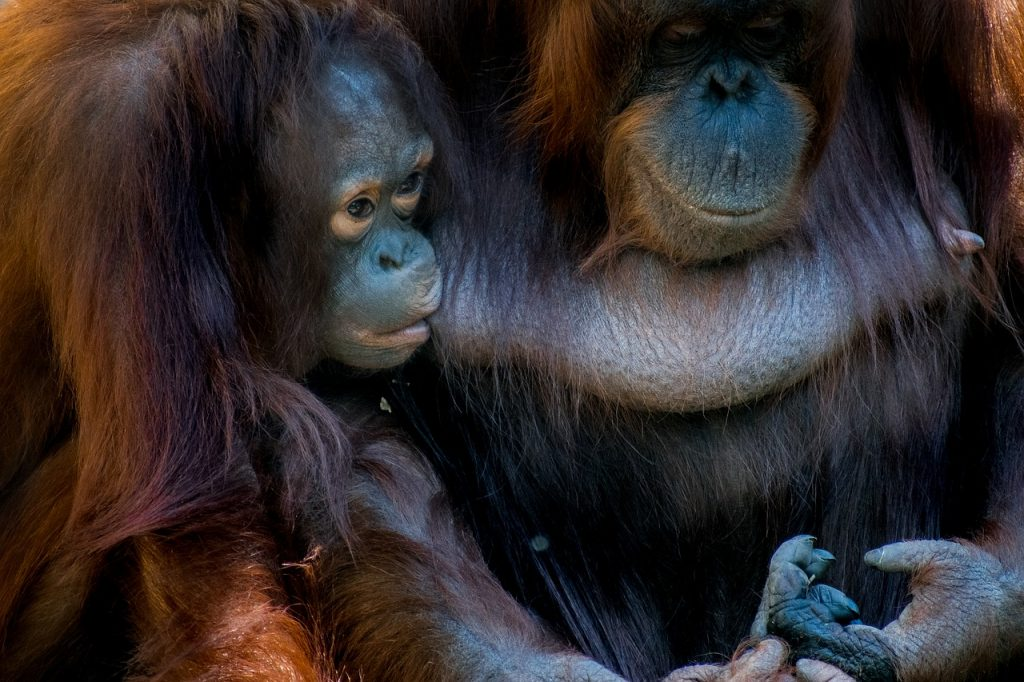 why palm oil matters - what is happening to organutans and why we need to go palm oil free