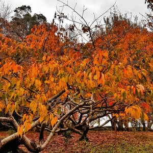 Autumn Trees a Poem by Helen Edwards AUstralian Children's and YA Author and Freelance Writer